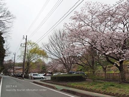松ヶ岡公園のソメイヨシノ [平成29年4月8日(土)更新]1