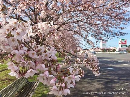 《いわき市桜開花情報》鹿島千本桜 [平成29年4月12日(水)更新]1