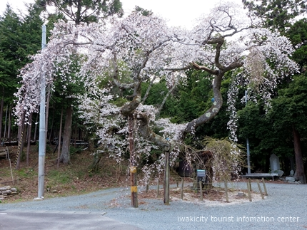 《桜開花状況》久之浜地区の桜 [平成29年4月18日(火)更新]5