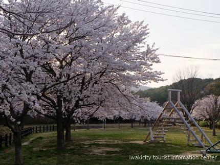 《桜開花状況》久之浜地区の桜 [平成29年4月18日(火)更新]8