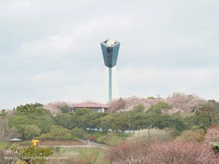 《いわき市桜開花情報》三崎公園のソメイヨシノ [平成29年4月19日(水)更新]1