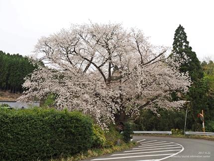 田人の石割桜が満開となりました! [平成29年4月22日(土)更新]1