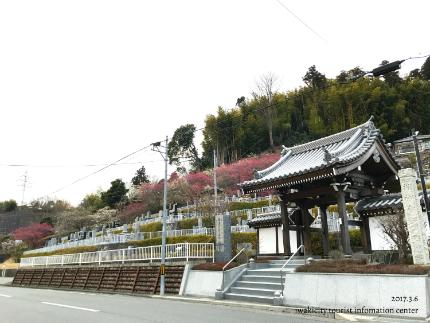 梅林寺のウメ [平成29年3月6日(月)更新]1