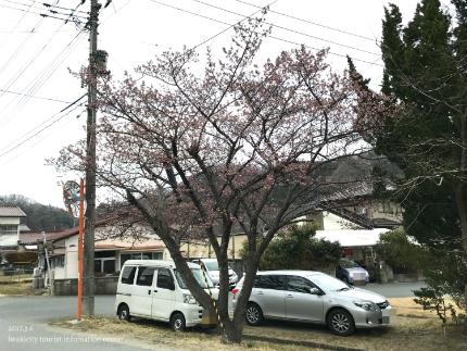 国宝白水阿弥陀堂のヒガンザクラ [平成29年3月6日(月)更新]1