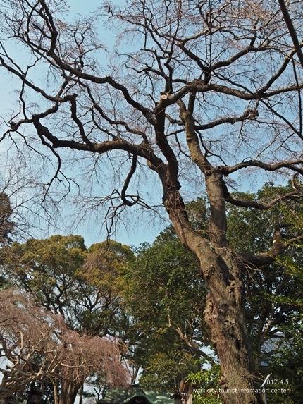 三島八幡神社のシダレザクラ [平成29年4月5日(水)更新]10