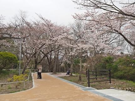 松ヶ岡公園のソメイヨシノ [平成29年4月8日(土)更新]10