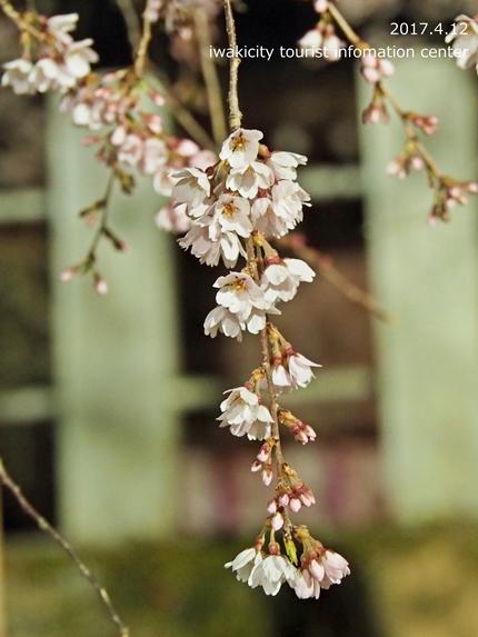 小川諏訪神社のシダレザクラ ライトアップ![平成29年4月12日(水)更新]10