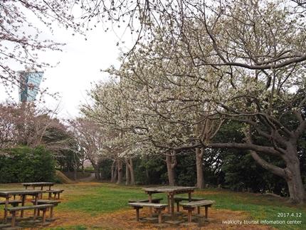 三崎公園のソメイヨシノ [平成29年4月12日(水)更新]10