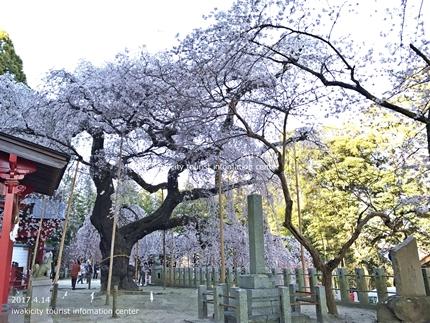 小川諏訪神社のシダレザクラ ライトアップ![平成29年4月14日(金)更新]10