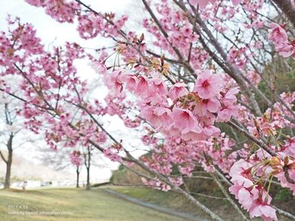 21世紀の森公園の桜 [平成29年4月16日(日)開催]10