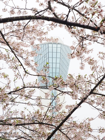 《いわき市桜開花情報》三崎公園のソメイヨシノ [平成29年4月19日(水)更新]10