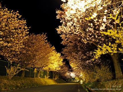 いわきの里鬼ヶ城「桜ライトアップ」レポート [平成29年4月30日(日)更新]9