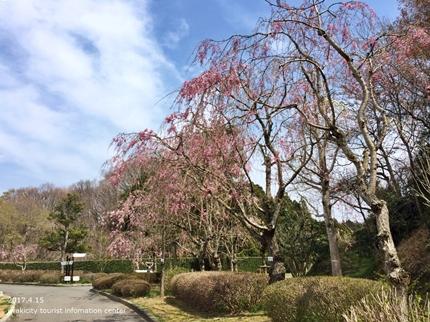 県立いわき公園の桜 [平成29年4月15日(土)開催]10