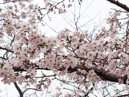 松ヶ岡公園のソメイヨシノ [平成29年4月8日(土)更新]11