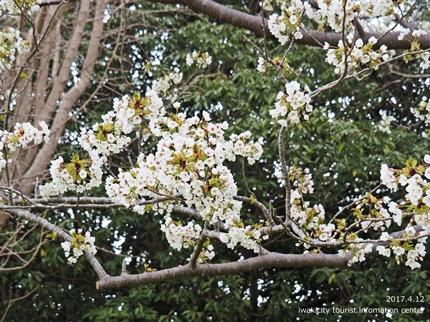 三崎公園のソメイヨシノ [平成29年4月12日(水)更新]11