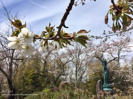 御幸山公園・観音山公園のソメイヨシノ [平成29年4月12日(水)更新]2-11
