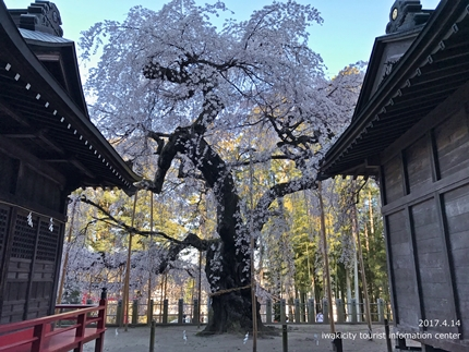 小川諏訪神社のシダレザクラ ライトアップ![平成29年4月14日(金)更新]11