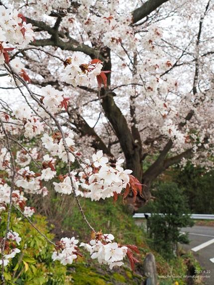 田人の石割桜が満開となりました! [平成29年4月22日(土)更新]5