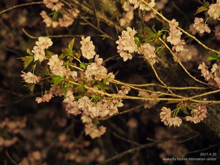 いわきの里鬼ヶ城「桜ライトアップ」レポート [平成29年4月30日(日)更新]10