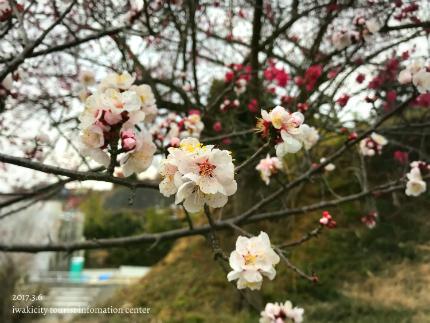 梅林寺のウメ [平成29年3月6日(月)更新]11