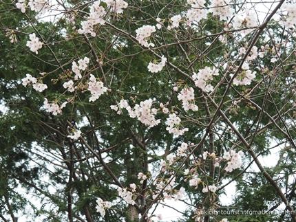 三島八幡神社のシダレザクラ [平成29年4月10日(月)更新]12