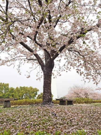 《いわき市桜開花情報》三崎公園のソメイヨシノ [平成29年4月19日(水)更新]12