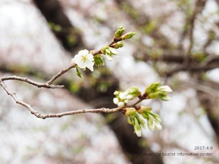 松ヶ岡公園のソメイヨシノ [平成29年4月8日(土)更新]13