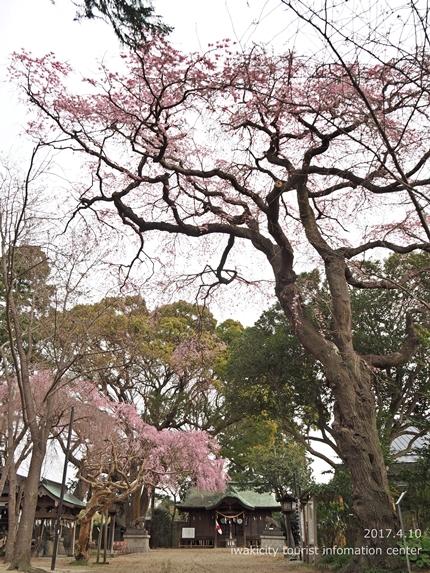 三島八幡神社のシダレザクラ [平成29年4月10日(月)更新]13