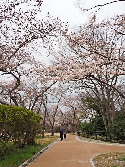 松ヶ岡公園のソメイヨシノ [平成29年4月8日(土)更新]14