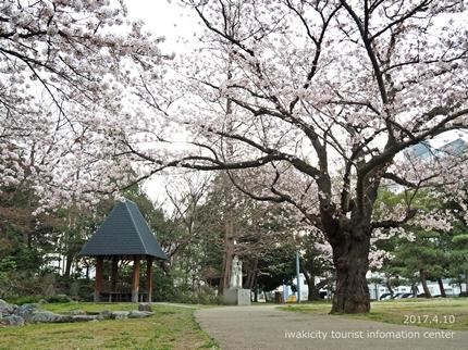 新川沿い・平中央公園のソメイヨシノ [平成29年4月10日(月)更新]14