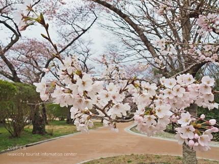 松ヶ岡公園のソメイヨシノ [平成29年4月8日(土)更新]15