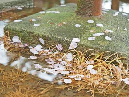 《いわき市桜開花情報》三崎公園のソメイヨシノ [平成29年4月19日(水)更新]15