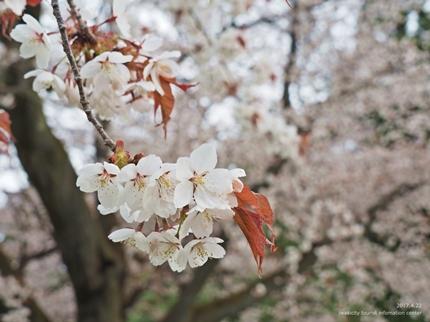 田人の石割桜が満開となりました! [平成29年4月22日(土)更新]6