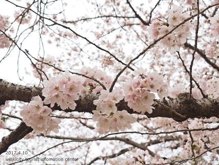 新川沿い・平中央公園のソメイヨシノ [平成29年4月10日(月)更新]16