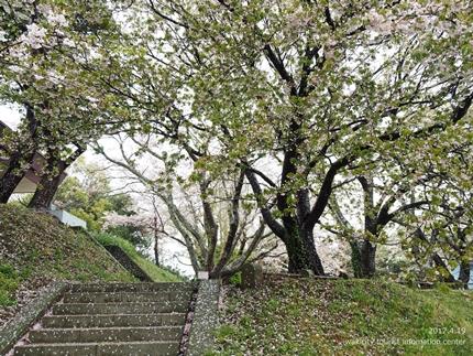 《いわき市桜開花情報》三崎公園のソメイヨシノ [平成29年4月19日(水)更新]18