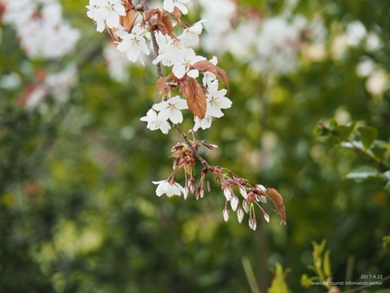 田人の石割桜が満開となりました! [平成29年4月22日(土)更新]8