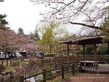 松ヶ岡公園のソメイヨシノ [平成29年4月8日(土)更新]2