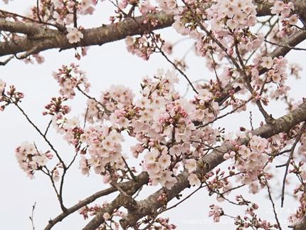 新川沿い・平中央公園のソメイヨシノ [平成29年4月10日(月)更新]2