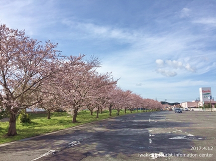 《いわき市桜開花情報》鹿島千本桜 [平成29年4月12日(水)更新]2