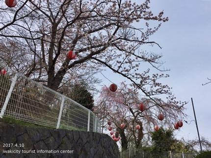 御幸山公園・観音山公園のソメイヨシノ [平成29年4月12日(水)更新]2