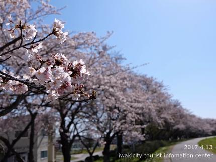 夏井川沿いのソメイヨシノ[平成29年4月13日(木)更新]2