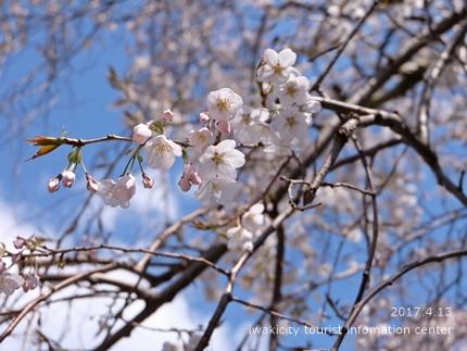 大運寺のシダレザクラ[平成29年4月13日(木)更新]2