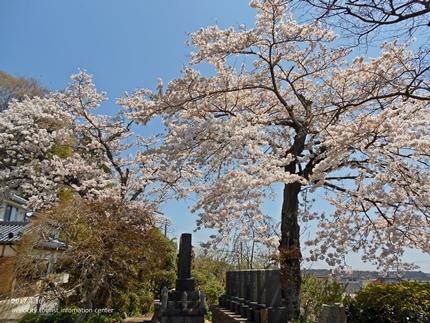 《桜開花状況》四倉地区の桜 [平成29年4月16日(日)更新]2