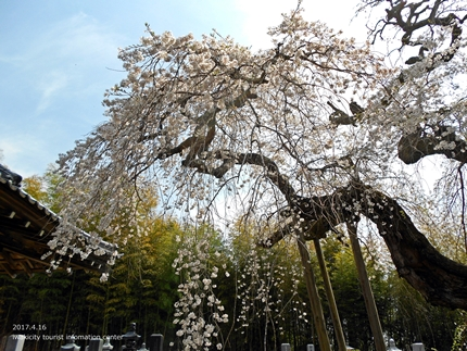 《桜開花状況》四倉地区の桜 [平成29年4月16日(日)更新]15