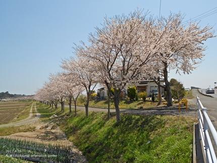 《桜開花状況》四倉地区の桜 [平成29年4月16日(日)更新]19