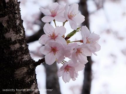 久之浜地区の桜 [平成29年4月18日(火)更新]2