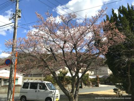 国宝白水阿弥陀堂のヒガンザクラ [平成29年3月10日(金)更新]2