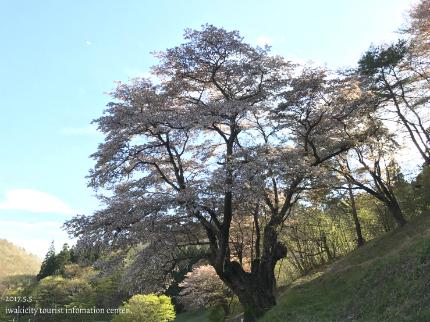 新田の大山桜2