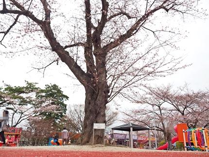 松ヶ岡公園のソメイヨシノ [平成29年4月8日(土)更新]20