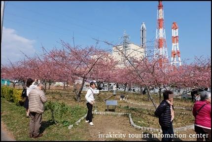 河津桜 (1)